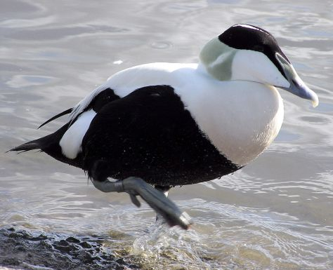 Bristol.zoo.common.eider.arp